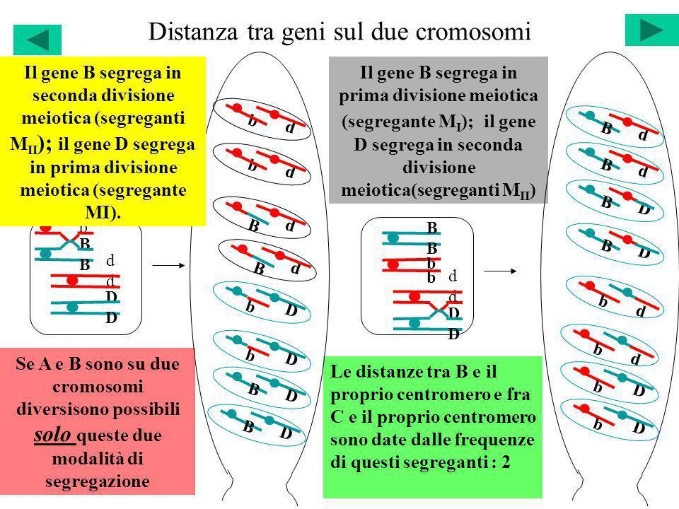 Distanza tra geni sul due cromosomi bbbb BBBB Il gene B segrega in prima divisione meiotica (segregante M I ); il gene D segrega in seconda divisione