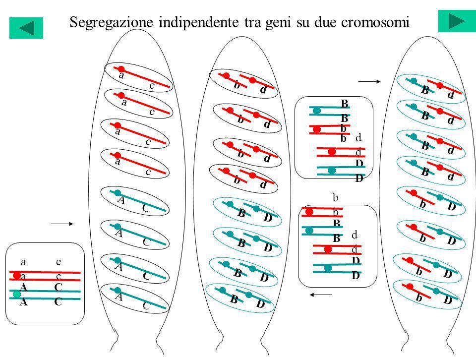 Segregazione indipendente tra geni su due cromosomi bbbb BBBB dddd DDDD dddd DDDD BBBB b b d b d D B B D b d b d B D B D D b d B D b d B d B d B D b D