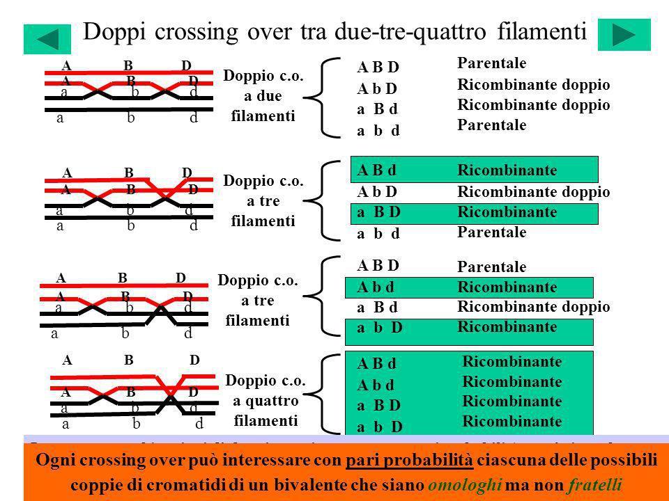 Doppi crossing over tra due-tre-quattro filamenti A B D a b d A B D a b d A B D a b d A B D a b d A B d A b d a B D a b D A B D A b D a B d a b d A B