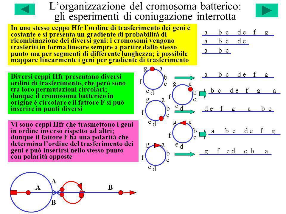 a b c d e f g a b c d e f g a b c d e f g a b c d e f g a b c d e f g Lorganizzazione del cromosoma batterico: gli esperimenti di coniugazione interro