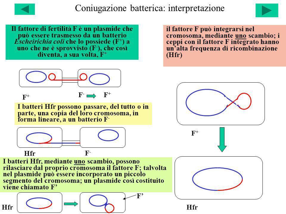 Coniugazione batterica: interpretazione F+F+ F+F+ F-F- F+F+ Hfr Il fattore di fertilità F è un plasmide che può essere trasmesso da un batterio Eschei