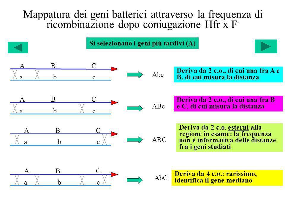 Mappatura dei geni batterici attraverso la frequenza di ricombinazione dopo coniugazione Hfr x F - a b c A B C a b c A B C a b c A B C ABc Abc ABC AbC