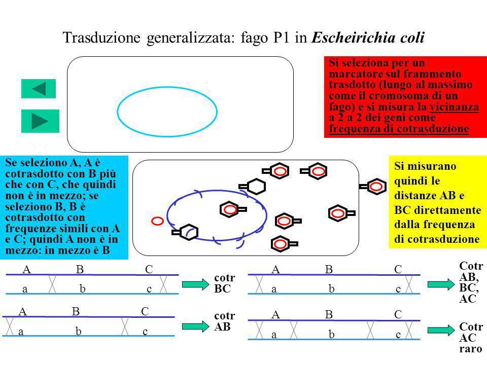 Trasduzione generalizzata: fago P1 in Escheirichia coli a b c A B C a b c A B C cotr AB cotr BC Cotr AB, BC, AC Cotr AC raro Si seleziona per un marca