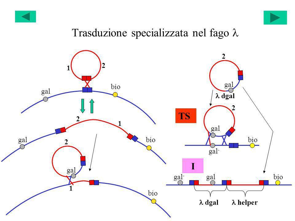 Trasduzione specializzata nel fago 1 2 gal bio 1 2 gal bio 1 2 gal 2 dgal gal - bio gal 2 helper dgal gal - biogal TS I