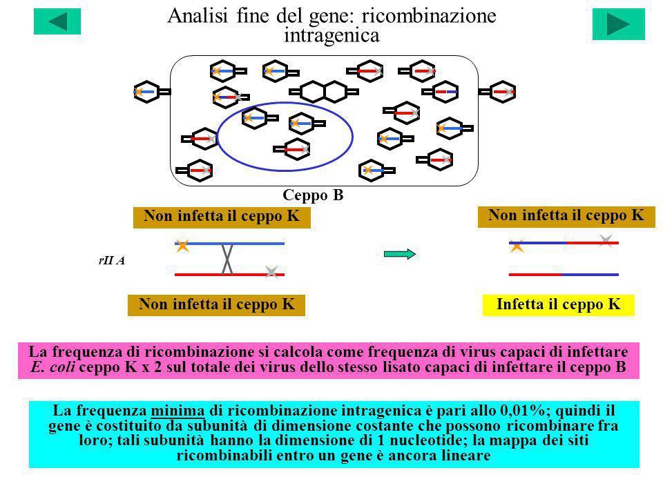 Analisi fine del gene: ricombinazione intragenica rII A Non infetta il ceppo KInfetta il ceppo K Non infetta il ceppo K Ceppo B La frequenza di ricomb