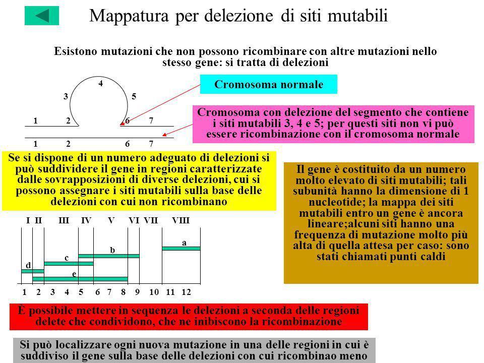 Mappatura per delezione di siti mutabili Esistono mutazioni che non possono ricombinare con altre mutazioni nello stesso gene: si tratta di delezioni