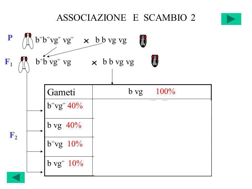 ASSOCIAZIONE E SCAMBIO 2 b + b + vg + vg + b b vg vg P F 1 b + b vg + vgb b vg vg Gameti b vg 100% b + vg + 40%b + b vg + vg 20% +20% b vg 40%b b vg v
