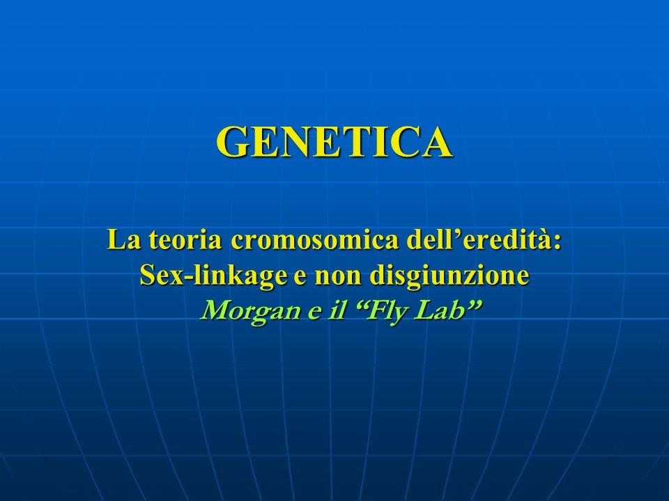 GENETICA La teoria cromosomica delleredità: Sex-linkage e non disgiunzione Morgan e il Fly Lab