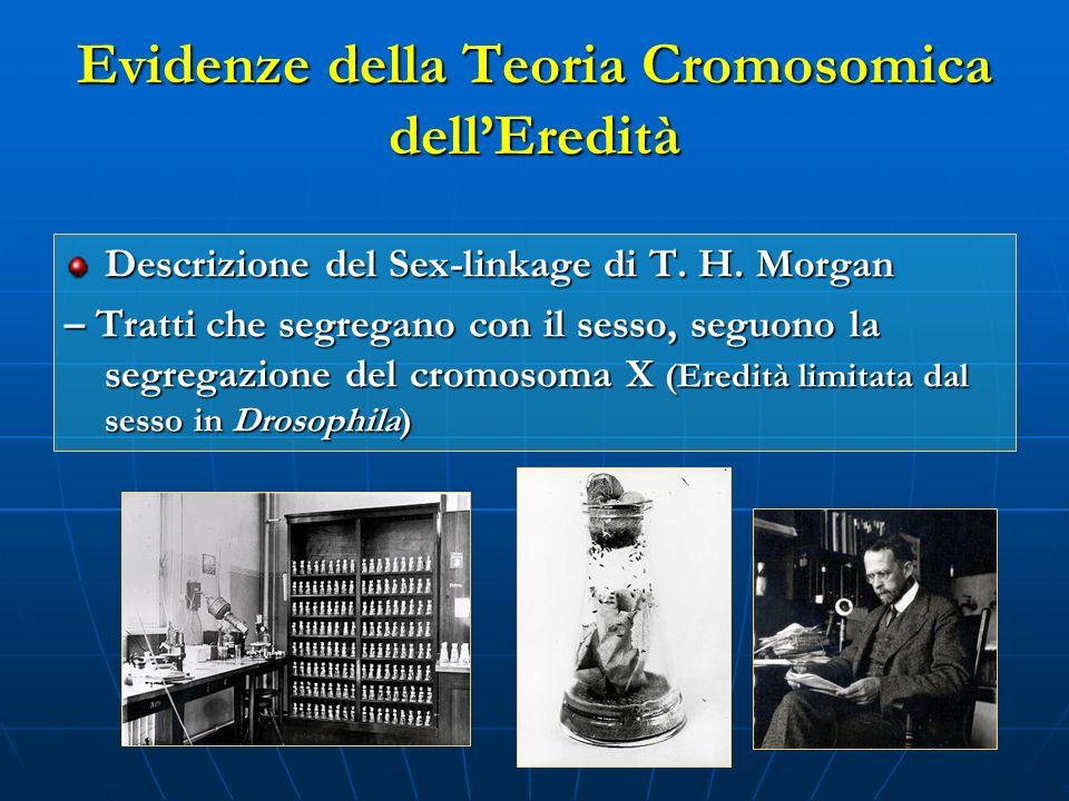 Evidenze della Teoria Cromosomica dellEredità Descrizione del Sex-linkage di T. H. Morgan – Tratti che segregano con il sesso, seguono la segregazione