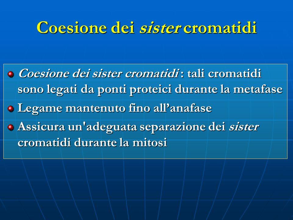 Coesione dei sister cromatidi Coesione dei sister cromatidi : tali cromatidi sono legati da ponti proteici durante la metafase Legame mantenuto fino a