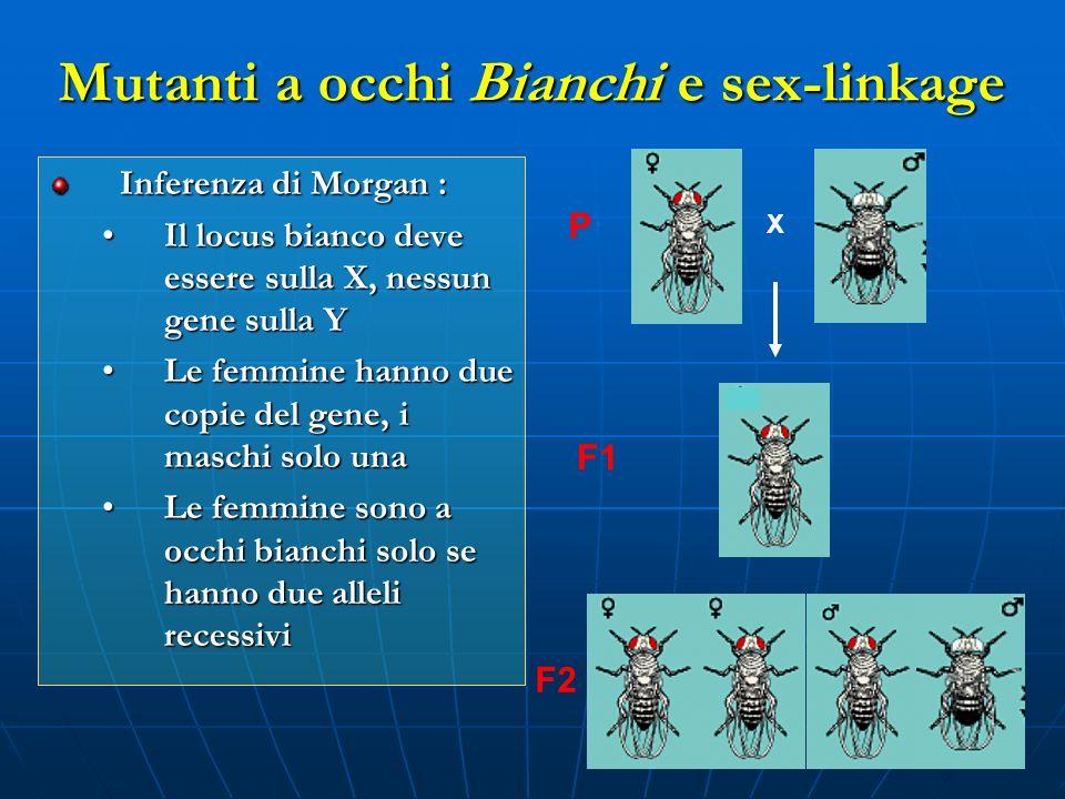 Inferenza di Morgan : Il locus bianco deve essere sulla X, nessun gene sulla YIl locus bianco deve essere sulla X, nessun gene sulla Y Le femmine hann