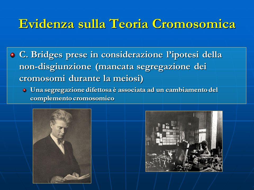 C. Bridges prese in considerazione lipotesi della non-disgiunzione (mancata segregazione dei cromosomi durante la meiosi) Una segregazione difettosa è