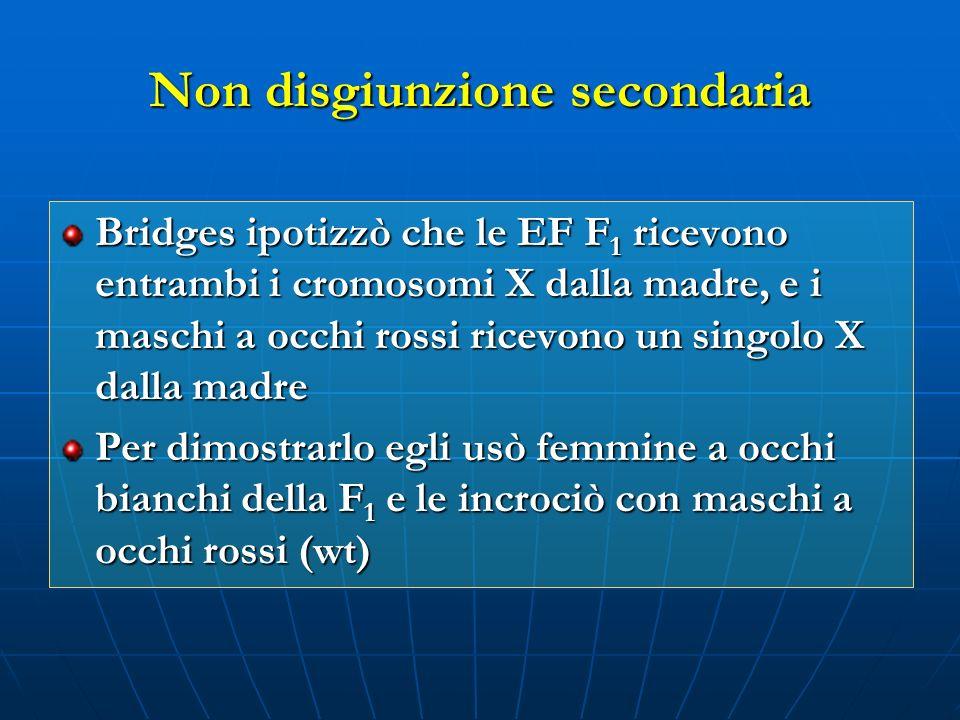 Non disgiunzione secondaria Bridges ipotizzò che le EF F 1 ricevono entrambi i cromosomi X dalla madre, e i maschi a occhi rossi ricevono un singolo X