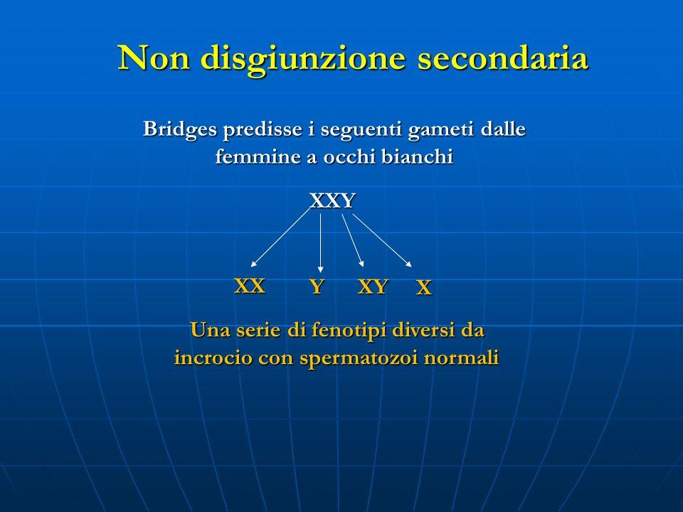 Bridges predisse i seguenti gameti dalle femmine a occhi bianchi XXY XX YXY X Una serie di fenotipi diversi da incrocio con spermatozoi normali Non di