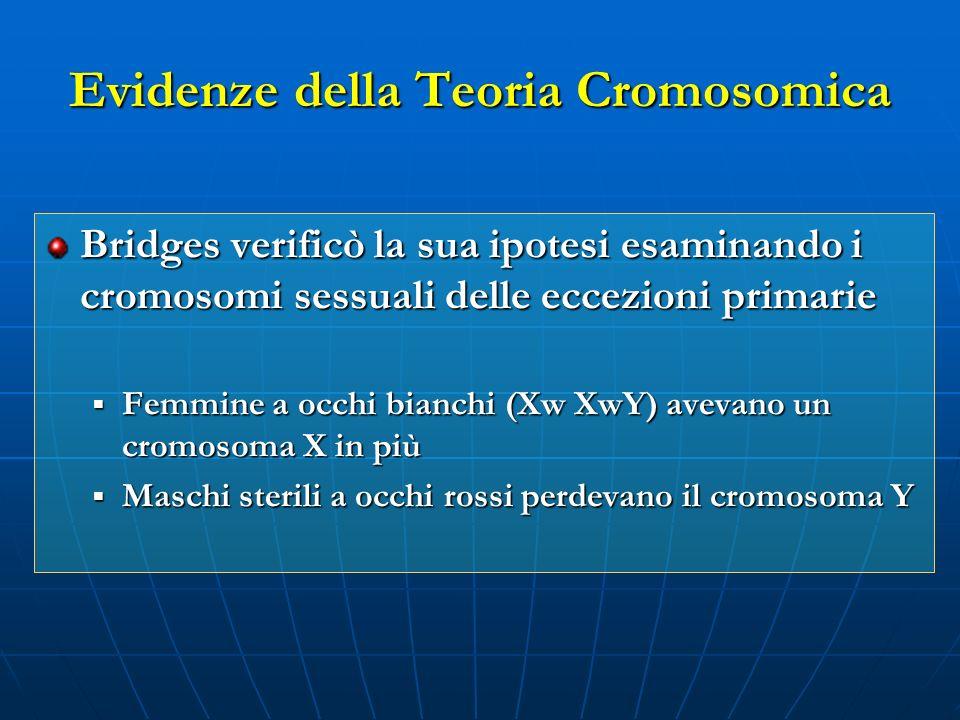 Evidenze della Teoria Cromosomica Bridges verificò la sua ipotesi esaminando i cromosomi sessuali delle eccezioni primarie Femmine a occhi bianchi (Xw