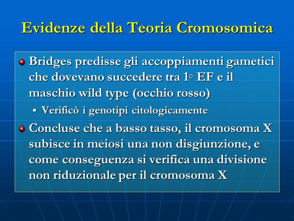 Evidenze della Teoria Cromosomica Bridges predisse gli accoppiamenti gametici che dovevano succedere tra 1 EF e il maschio wild type (occhio rosso) Ve