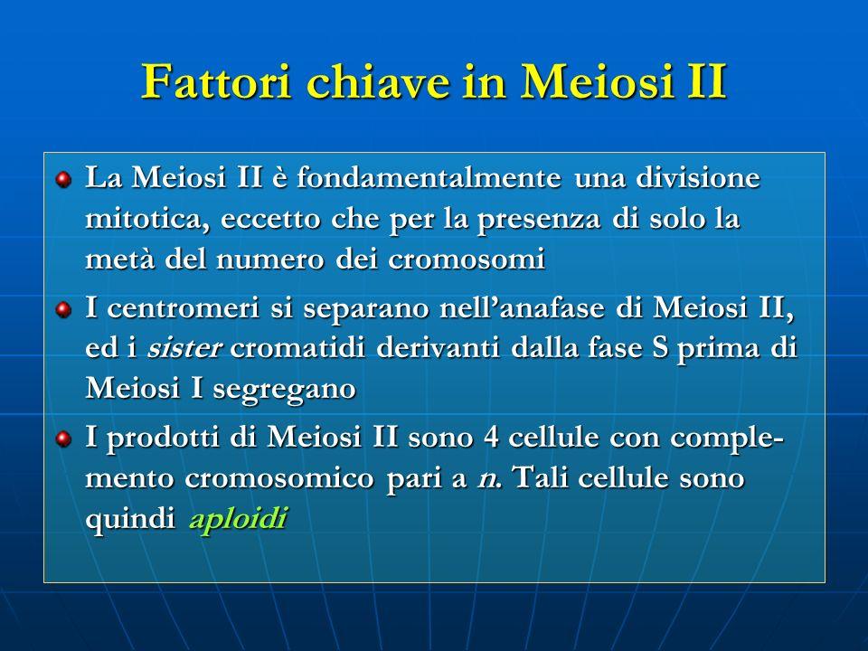 Fattori chiave in Meiosi II La Meiosi II è fondamentalmente una divisione mitotica, eccetto che per la presenza di solo la metà del numero dei cromoso