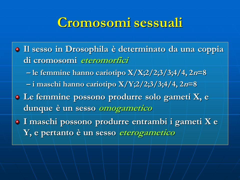 Cromosomi sessuali Il sesso in Drosophila è determinato da una coppia di cromosomi eteromorfici – le femmine hanno cariotipo X/X;2/2;3/3;4/4, 2n=8 – i