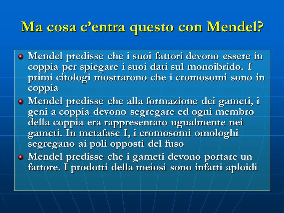 Ma cosa centra questo con Mendel? Mendel predisse che i suoi fattori devono essere in coppia per spiegare i suoi dati sul monoibrido. I primi citologi