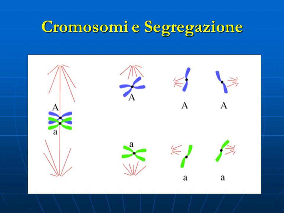 Cromosomi e Segregazione