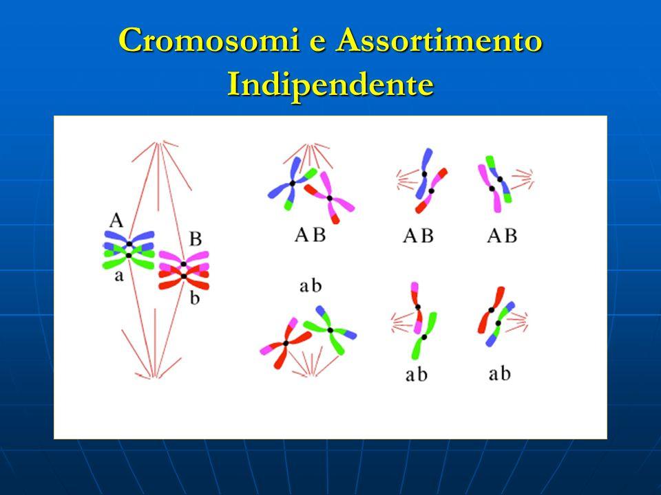 Cromosomi e Assortimento Indipendente