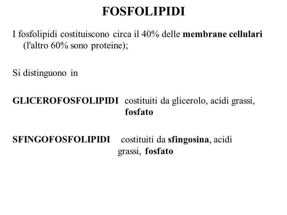 FOSFOLIPIDI I fosfolipidi costituiscono circa il 40% delle membrane cellulari (l altro 60% sono proteine); Si distinguono in GLICEROFOSFOLIPIDI costituiti da glicerolo, acidi grassi, fosfato SFINGOFOSFOLIPIDI costituiti da sfingosina, acidi grassi, fosfato