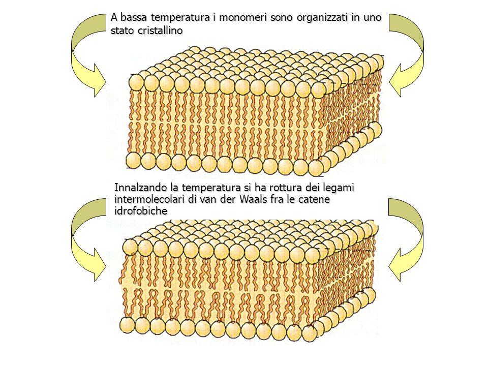 A bassa temperatura i monomeri sono organizzati in uno stato cristallino Innalzando la temperatura si ha rottura dei legami intermolecolari di van der Waals fra le catene idrofobiche