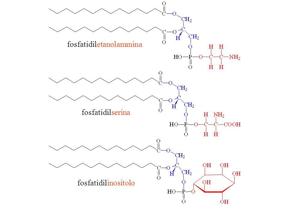 fosfatidiletanolammina fosfatidilserina fosfatidilinositolo