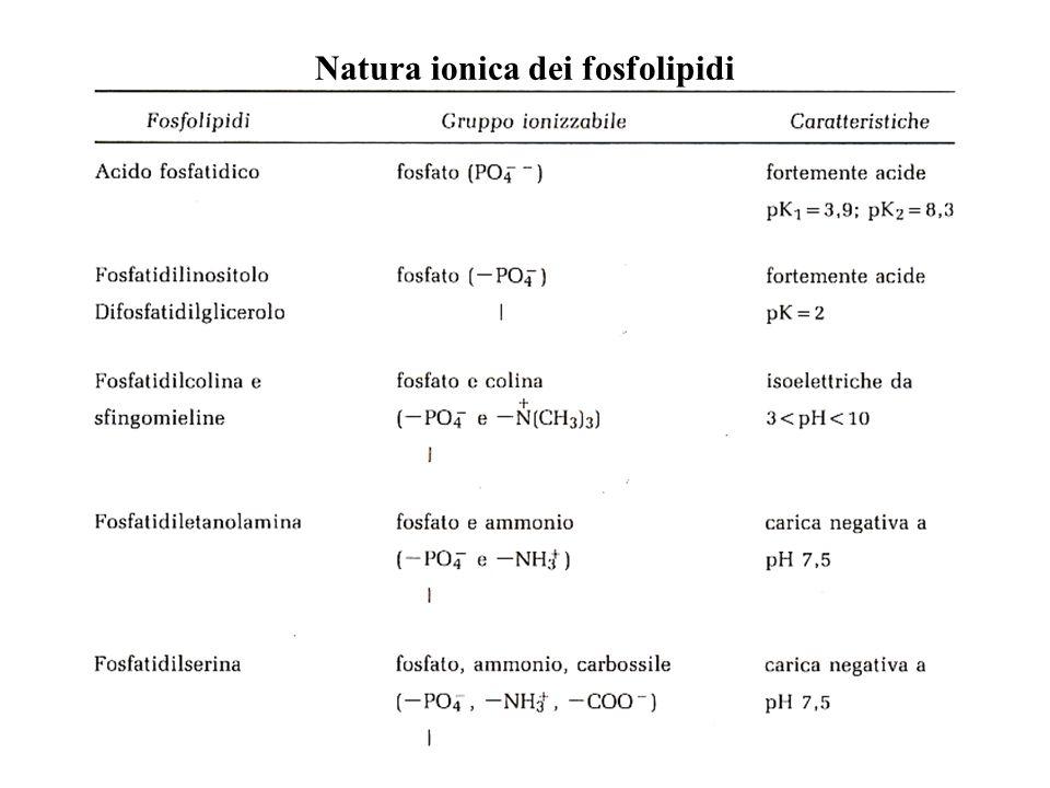 Natura ionica dei fosfolipidi