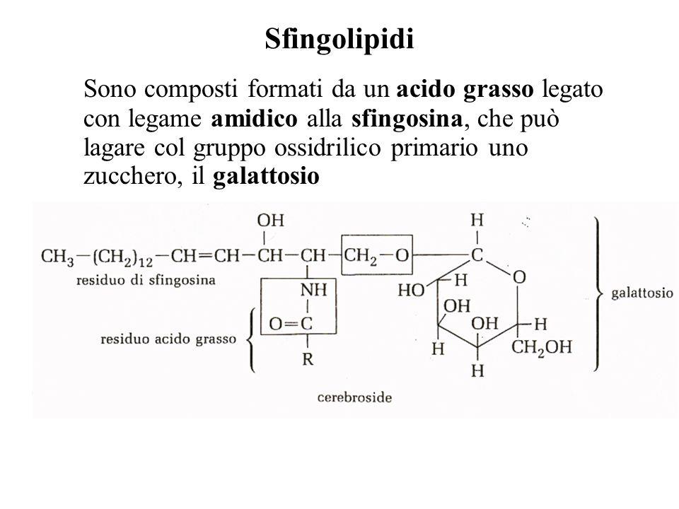 Sfingolipidi Sono composti formati da un acido grasso legato con legame amidico alla sfingosina, che può lagare col gruppo ossidrilico primario uno zu