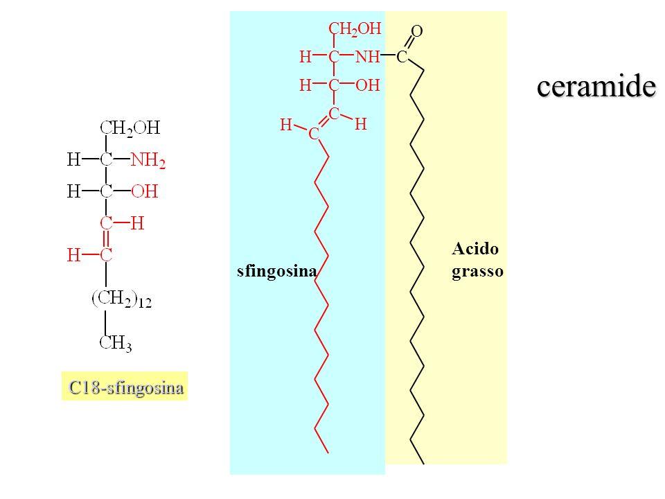 C18-sfingosina CH 2 OH CNHH COHH C C O C H H sfingosina Acido grasso ceramide