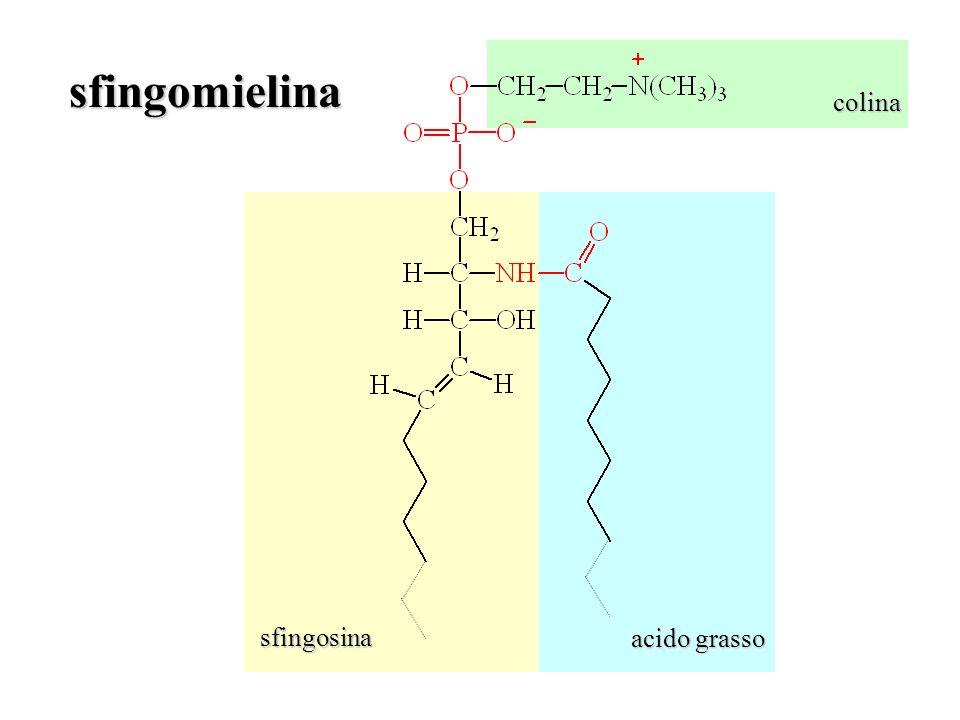 colina acido grasso sfingosina sfingomielina
