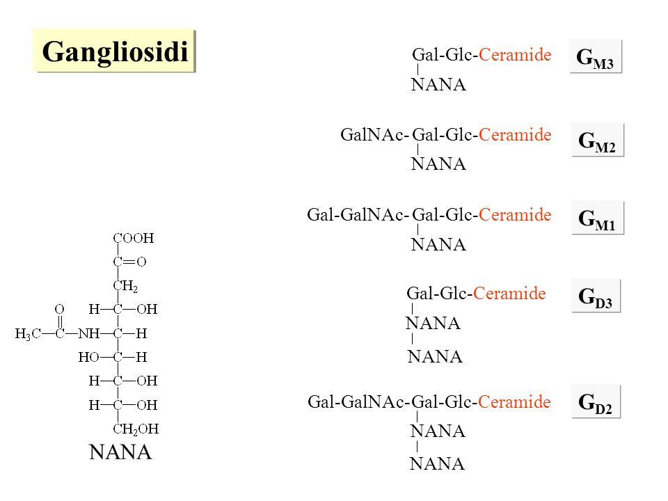 Gal-Glc-Ceramide NANA Gal-Glc-Ceramide NANA Gal-Glc-Ceramide NANA GalNAc- Gal-Glc-Ceramide NANA Gal-GalNAc- G M3 G M2 G M1 G D3 Gal-Glc-Ceramide NANA Gal-GalNAc- G D2 NANA Gangliosidi