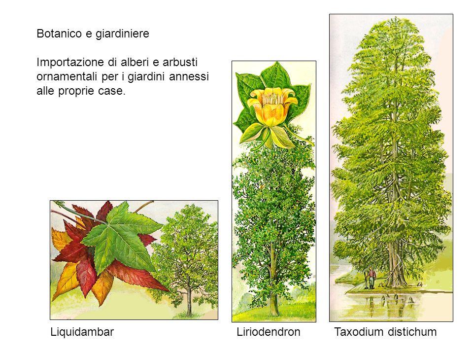 Botanico e giardiniere Importazione di alberi e arbusti ornamentali per i giardini annessi alle proprie case. LiriodendronLiquidambar Taxodium distich