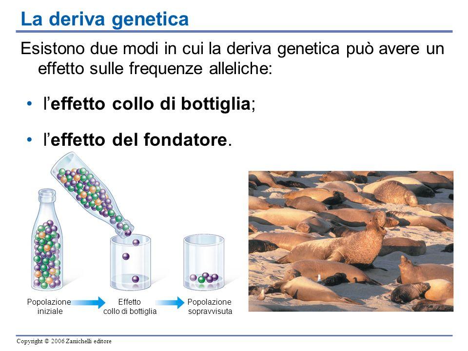 Copyright © 2006 Zanichelli editore Popolazione iniziale Effetto collo di bottiglia Popolazione sopravvisuta Esistono due modi in cui la deriva geneti