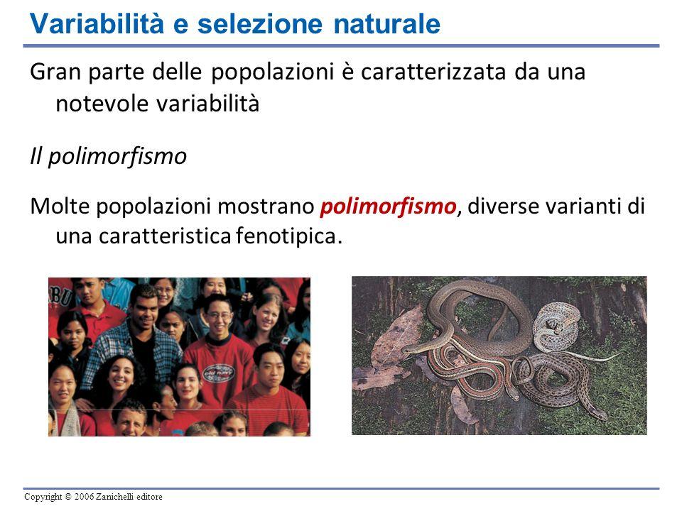 Copyright © 2006 Zanichelli editore Gran parte delle popolazioni è caratterizzata da una notevole variabilità Il polimorfismo Molte popolazioni mostra