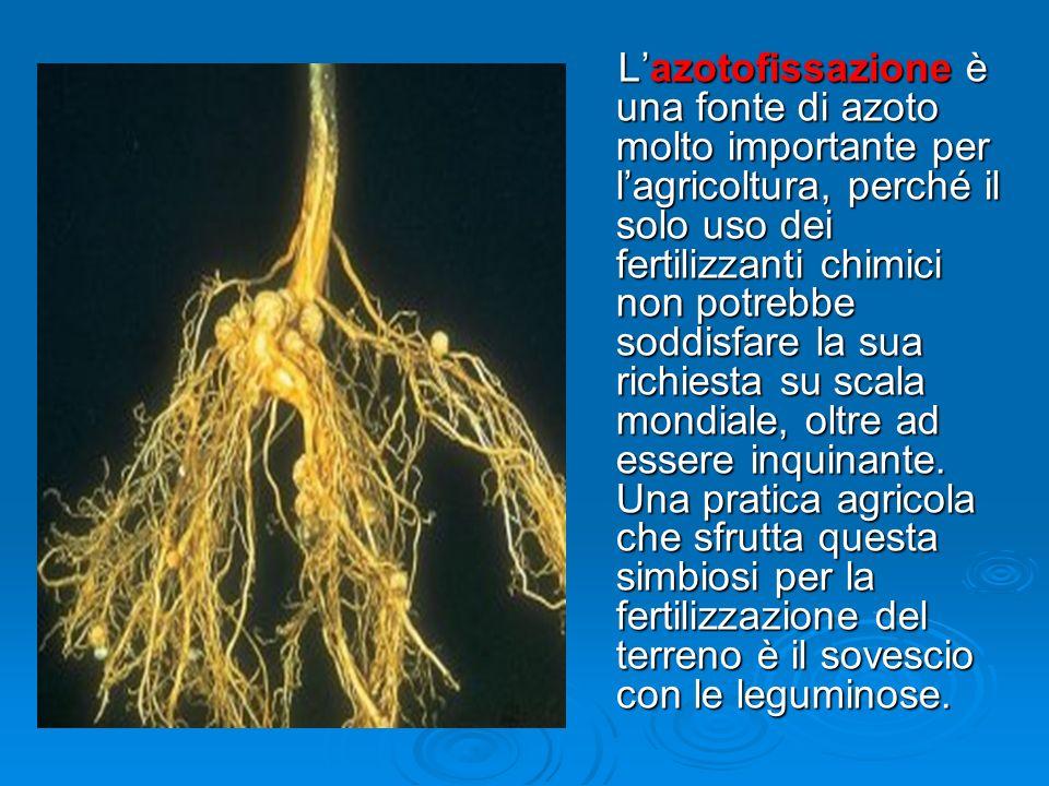 Lazotofissazione è una fonte di azoto molto importante per lagricoltura, perché il solo uso dei fertilizzanti chimici non potrebbe soddisfare la sua r