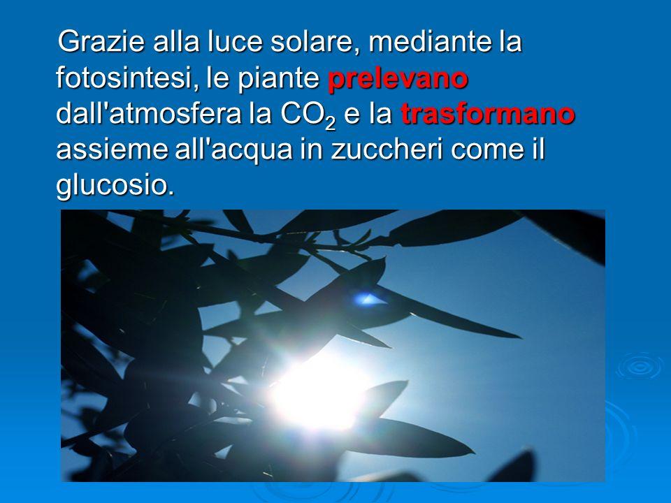Grazie alla luce solare, mediante la fotosintesi, le piante prelevano dall'atmosfera la CO 2 e la trasformano assieme all'acqua in zuccheri come il gl