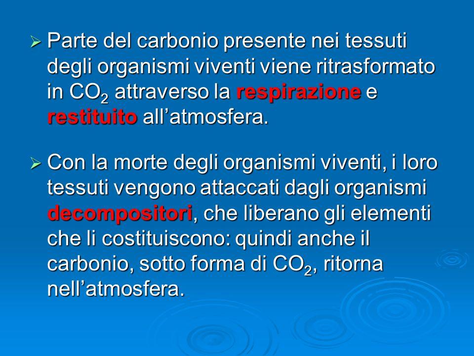 Parte del carbonio presente nei tessuti degli organismi viventi viene ritrasformato in CO 2 attraverso la respirazione e restituito allatmosfera. Part