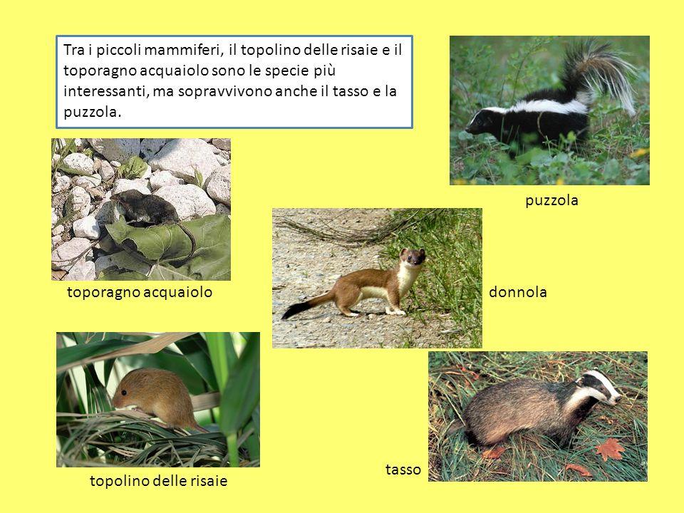 Tra i piccoli mammiferi, il topolino delle risaie e il toporagno acquaiolo sono le specie più interessanti, ma sopravvivono anche il tasso e la puzzol