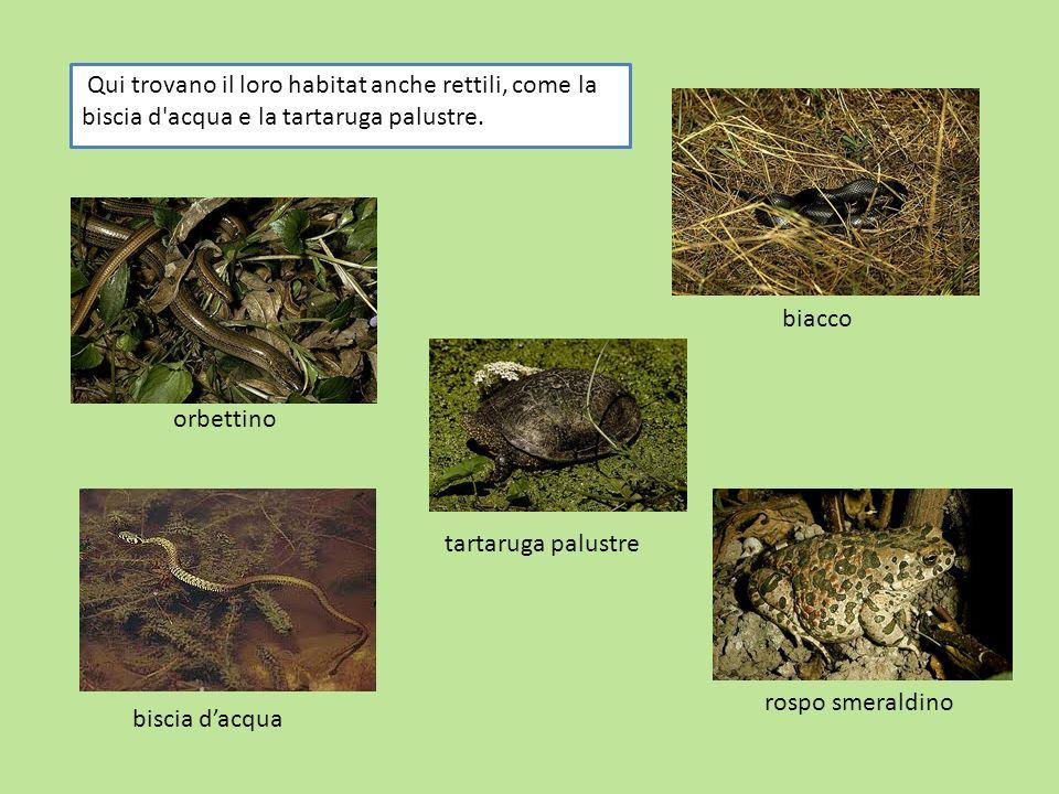 Qui trovano il loro habitat anche rettili, come la biscia d'acqua e la tartaruga palustre. biacco biscia dacqua orbettino tartaruga palustre rospo sme