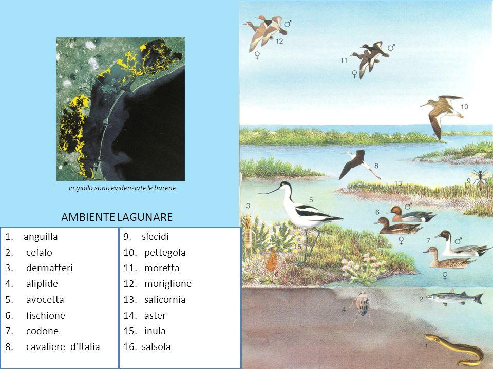 1.anguilla 2. cefalo 3. dermatteri 4. aliplide 5. avocetta 6. fischione 7. codone 8. cavaliere dItalia 9.sfecidi 10. pettegola 11. moretta 12. morigli