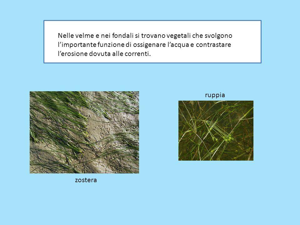 Nelle velme e nei fondali si trovano vegetali che svolgono limportante funzione di ossigenare lacqua e contrastare lerosione dovuta alle correnti. rup