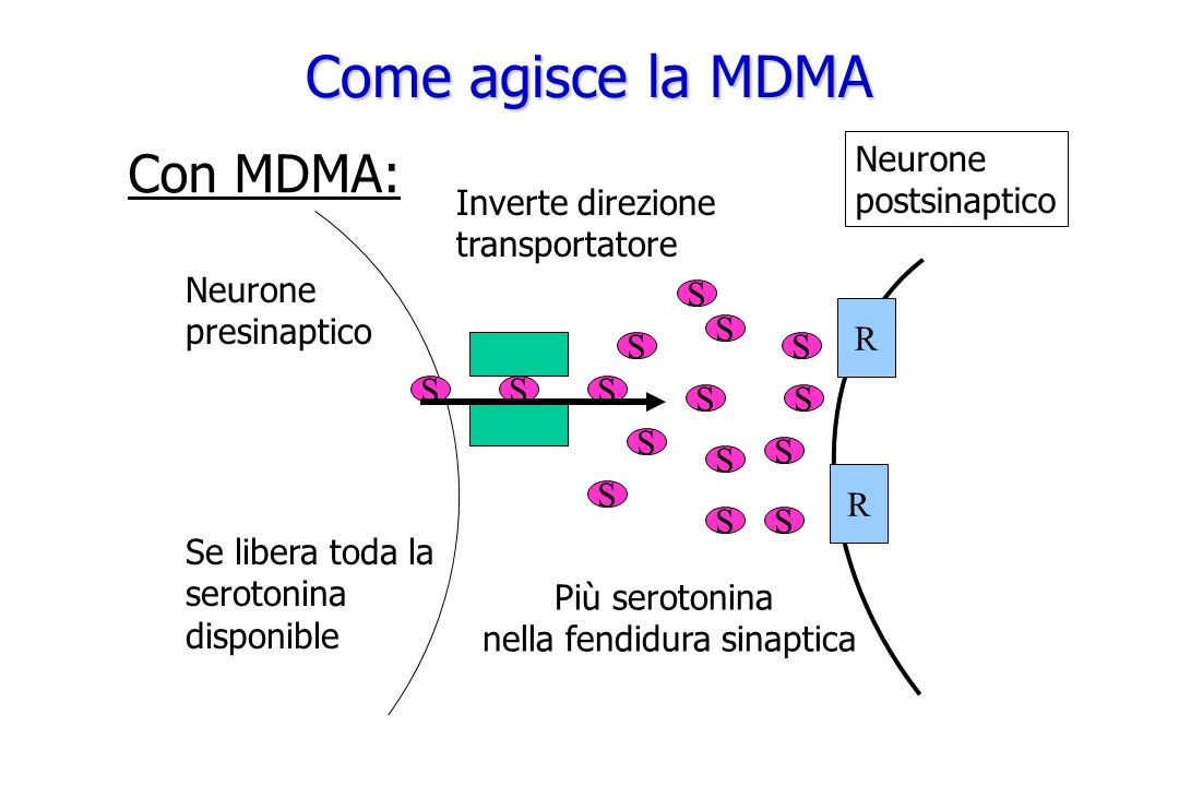 Neurone presinaptico Inverte direzione transportatore SSS S S S S Più serotonina nella fendidura sinaptica Con MDMA: S S S S S S S S Se libera toda la