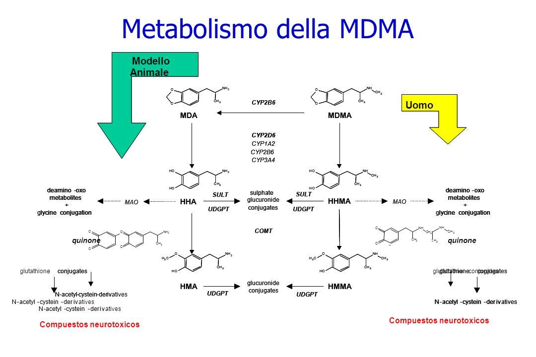 Modelos Animales Humanos Compuestos neurotoxicos Modello Animale Uomo HHMA HHA MAO MDMA HMA MDA glucuronide conjugates sulphate glucuronide CYP2B6 CYP