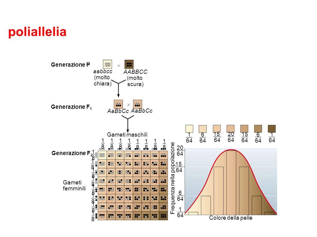 poliallelia Figura 9.14 Generazione P Generazione F 1 Generazione F 2 Gameti maschili Gameti femminili aabbcc (molto chiara) AABBCC (molto scura) AaBb