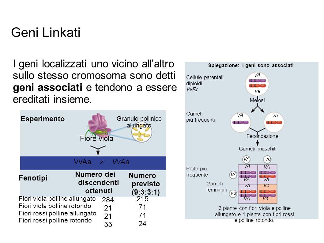 Spiegazione: i geni sono associati Cellule parentali diploidi VvRr Gameti più frequenti Prole più frequente Gameti femminili 3 piante con fiori viola