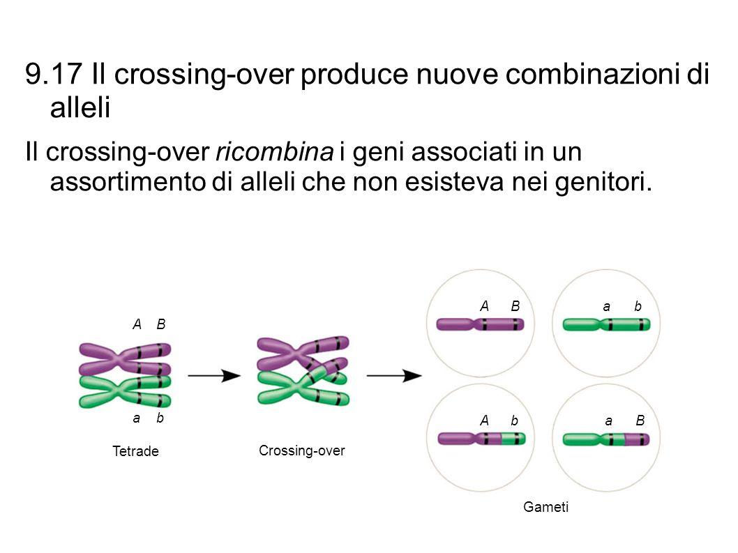 9.17 Il crossing-over produce nuove combinazioni di alleli Il crossing-over ricombina i geni associati in un assortimento di alleli che non esisteva n