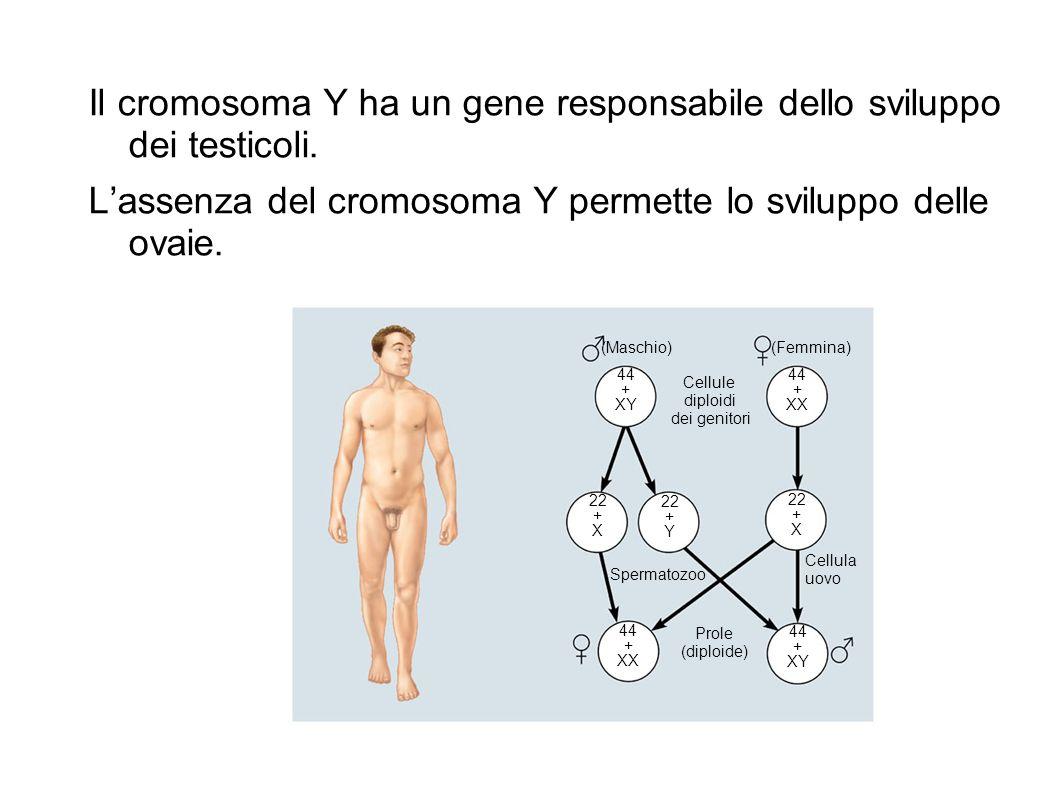 Il cromosoma Y ha un gene responsabile dello sviluppo dei testicoli. Lassenza del cromosoma Y permette lo sviluppo delle ovaie. (Maschio)(Femmina) Cel
