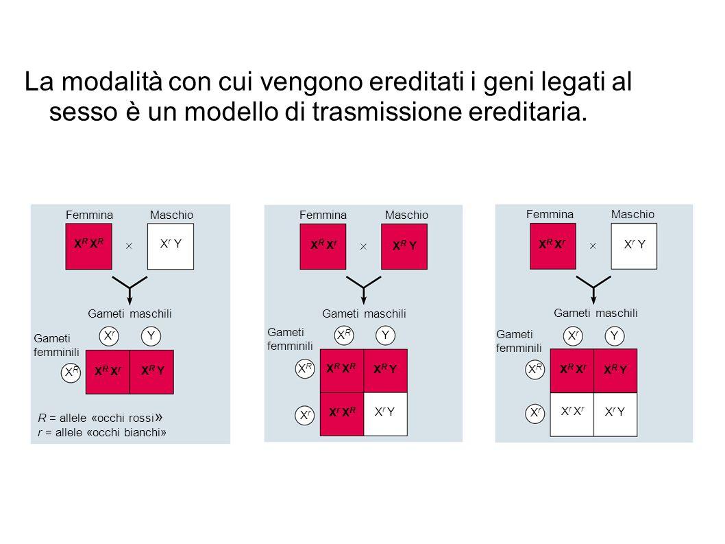 La modalità con cui vengono ereditati i geni legati al sesso è un modello di trasmissione ereditaria. FemminaMaschio Gameti maschili XrXr Y XRXR X r Y